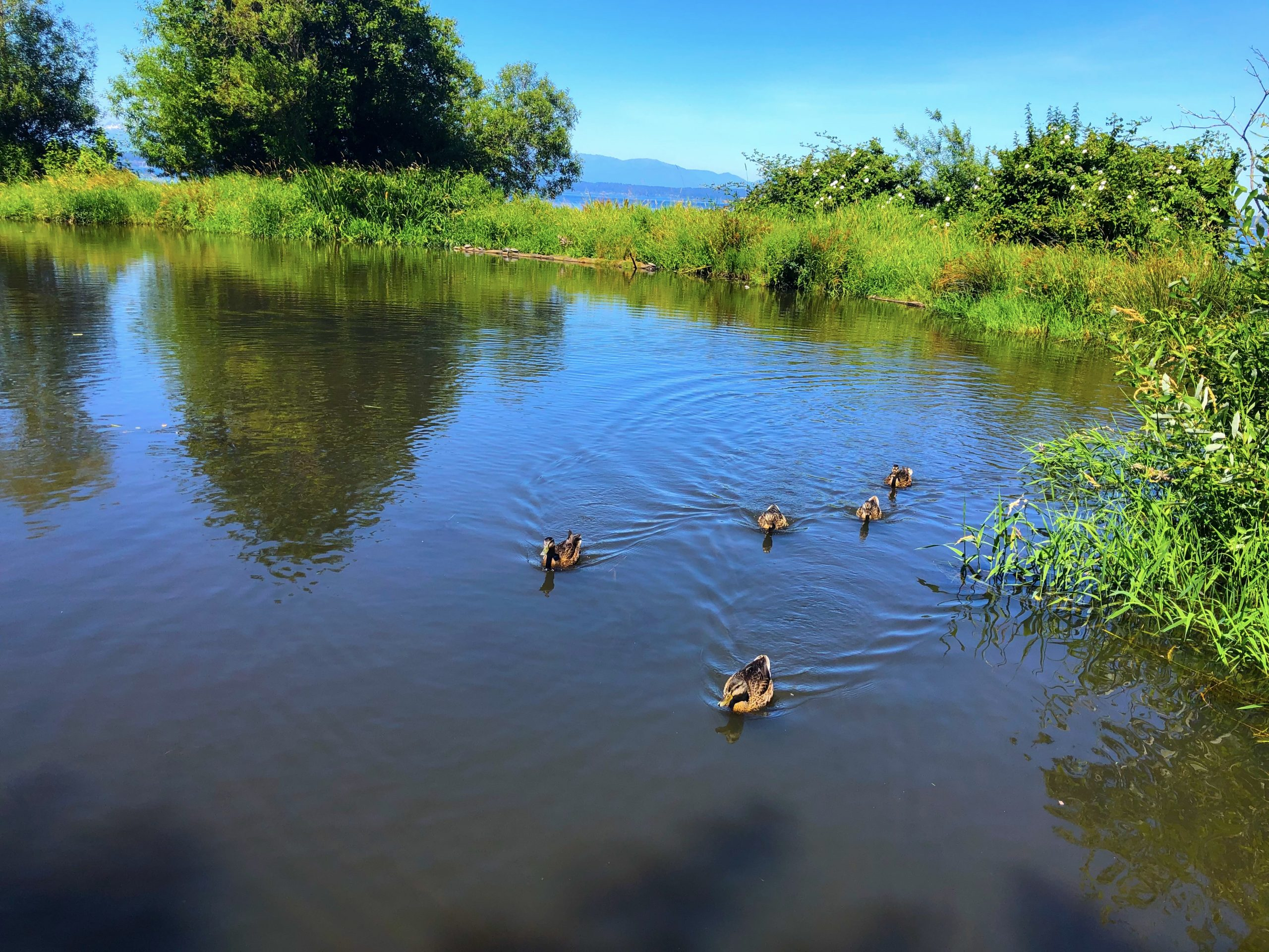 photo by jmz. An over-saturated photo of a family of ducks swimming in a small pond. The pond is surrounded by lush greenery, grasses, bushes, and small trees.