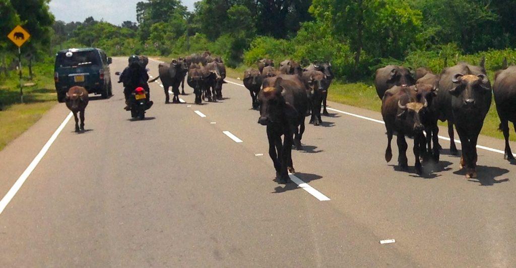 a herd of water buffalo walks down a rural street