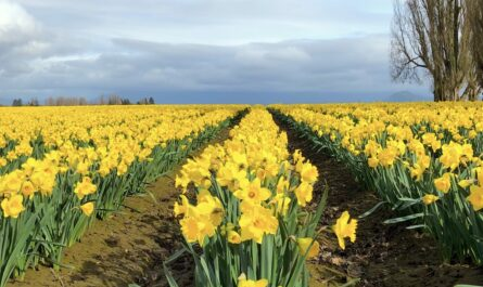 rows of yellow tulips in a field