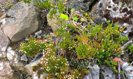 heather and lichen growing out of stones