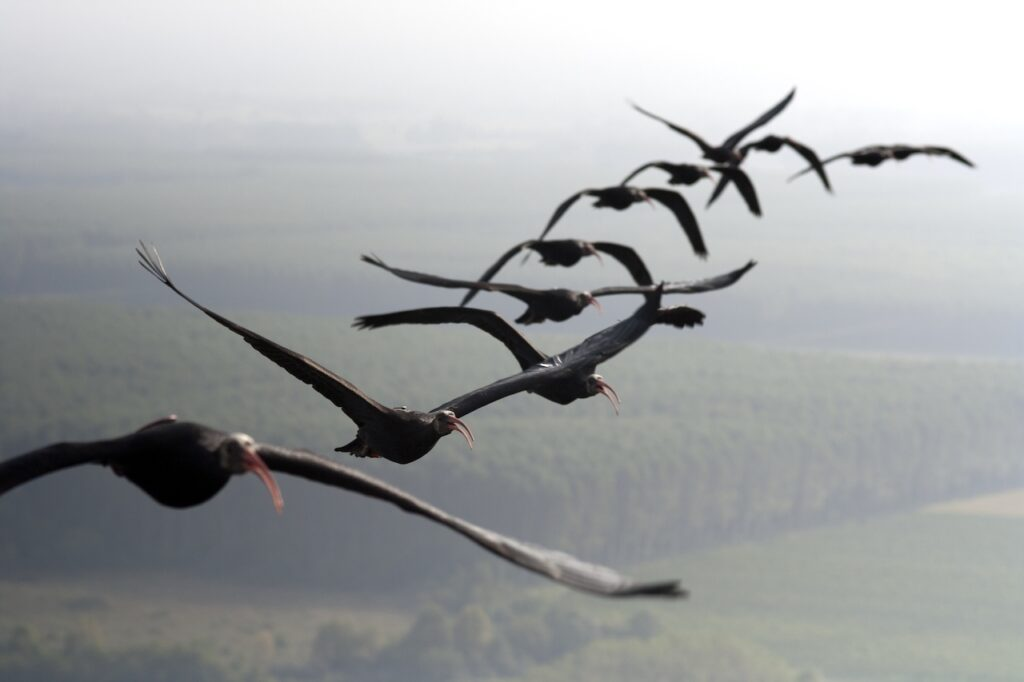a flock of Northern bald ibises flying in formation
