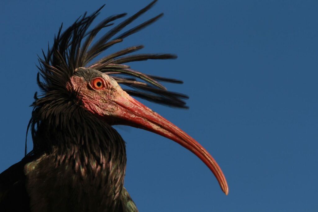 the top half of a Northern bald ibis