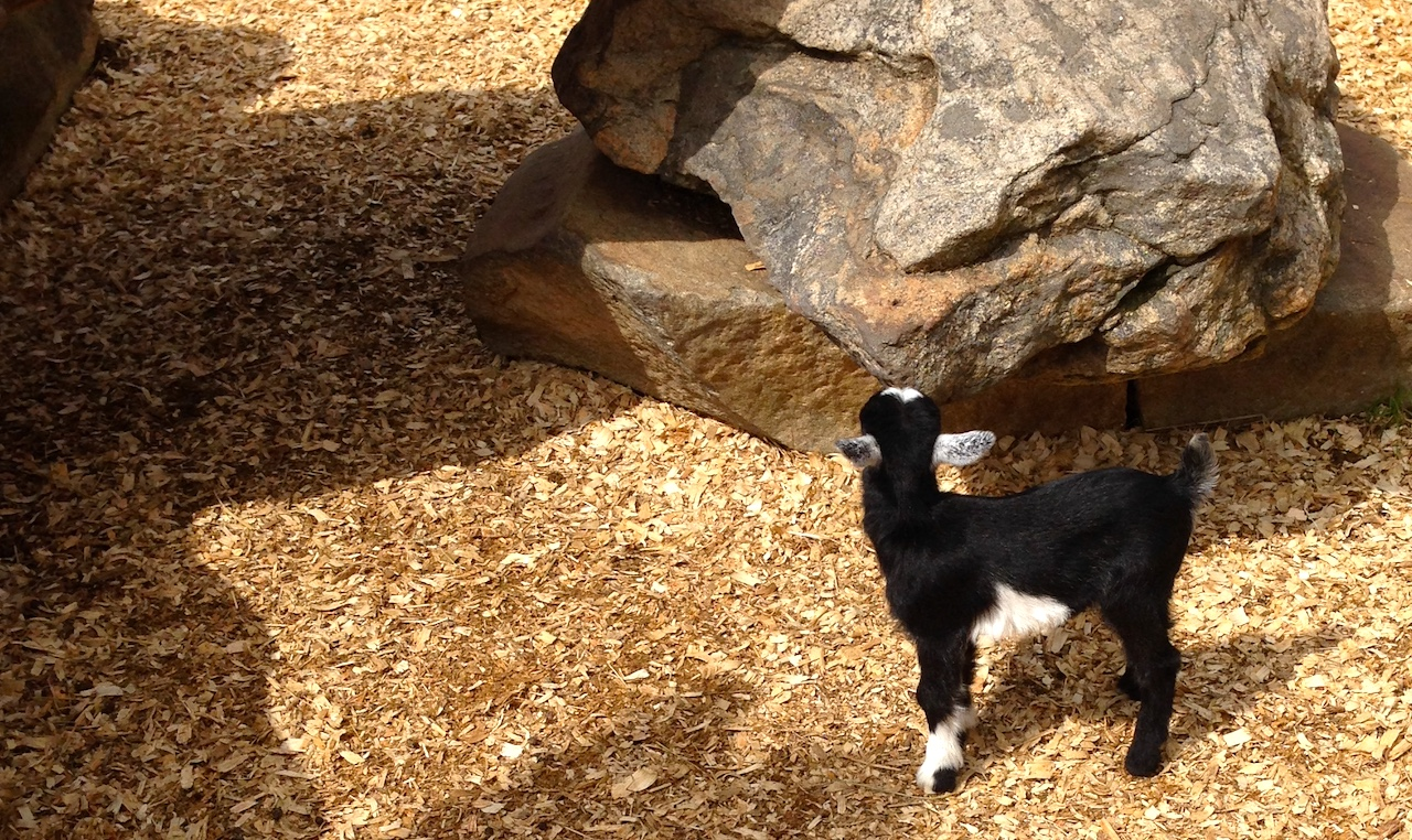 a baby goat looking up at a rock